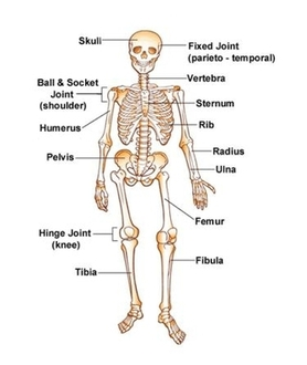 the skeletal system is composed of 206 bones made of spongy and compact bone the purpose of this system is support protection movement storage